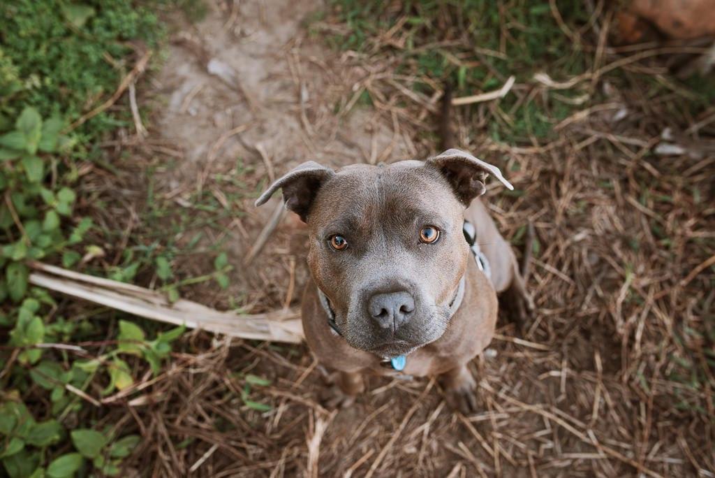 Dog Duke during his fur parents Engagement Shoot on the Sunshine Coast